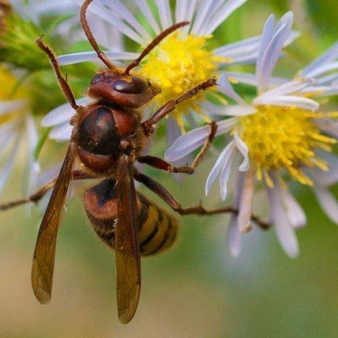 Bees, Wasps & Hornets | Pest Control | Guardian Pest Management