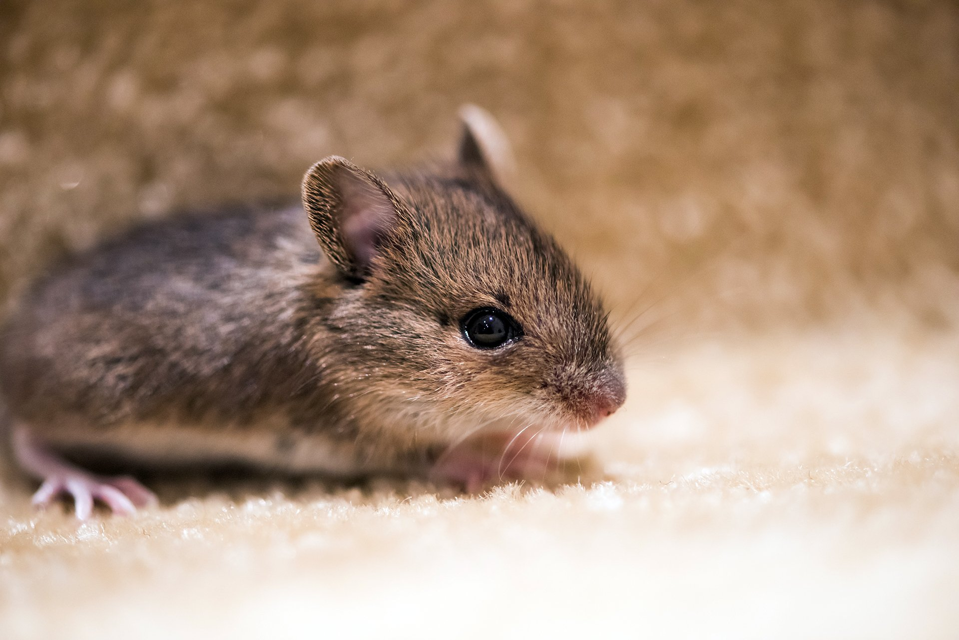 Mice | Pest Control | Guardian Pest Management