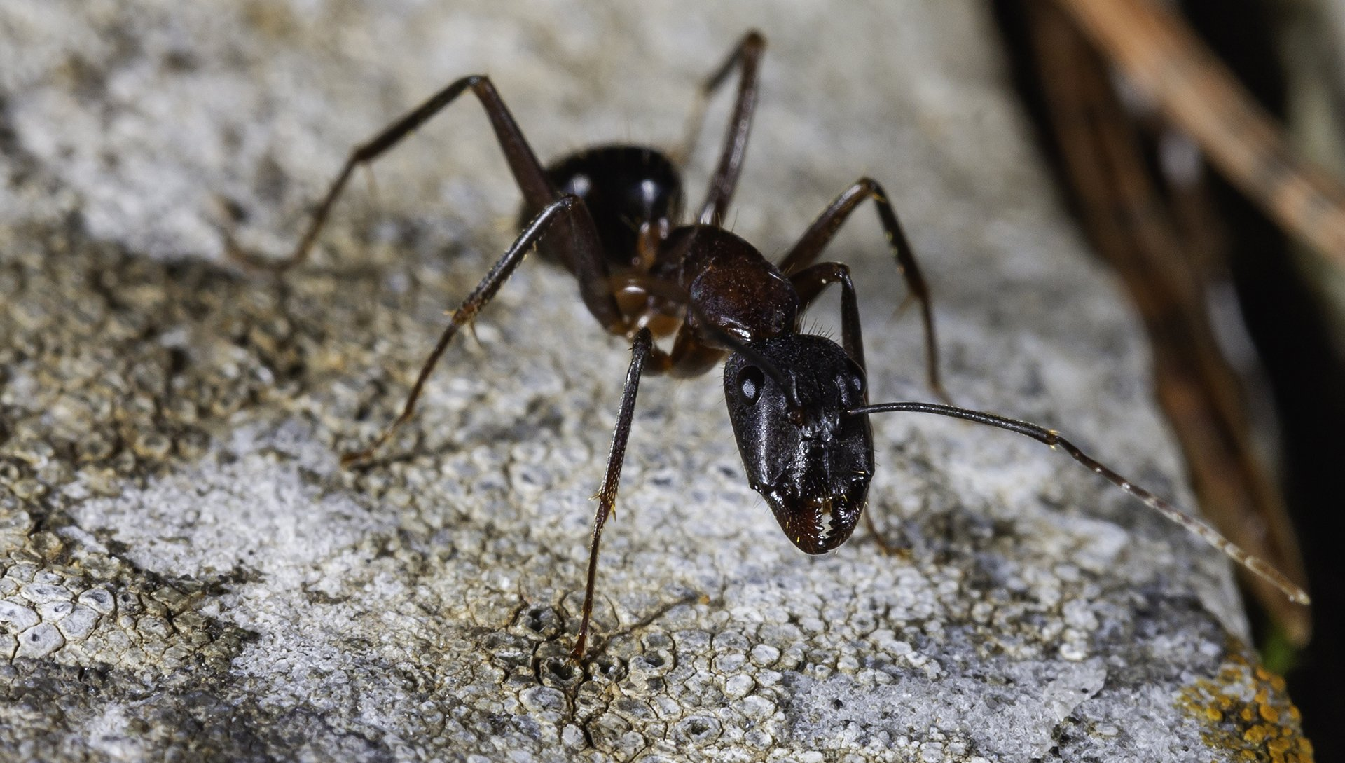 Ants | Pest Control | Guardian Pest Management
