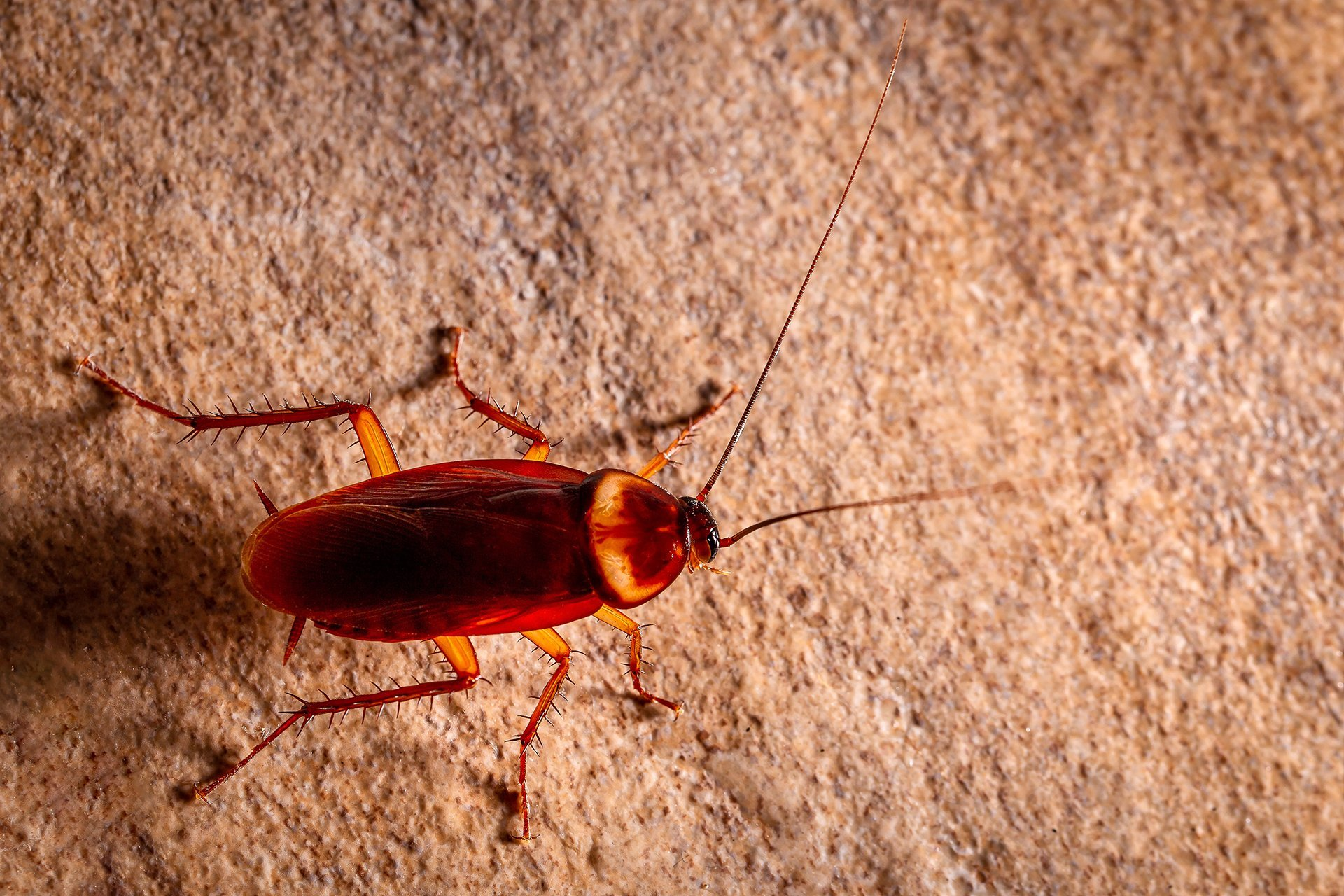 Cockroaches | Pest Control | Guardian Pest Management
