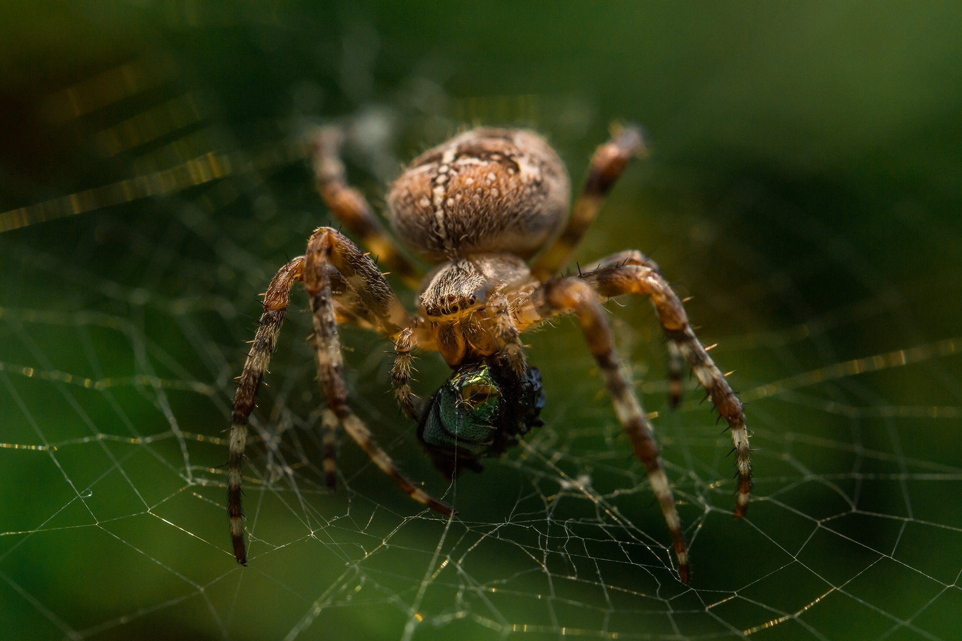 Spiders | Pest Control | Guardian Pest Management