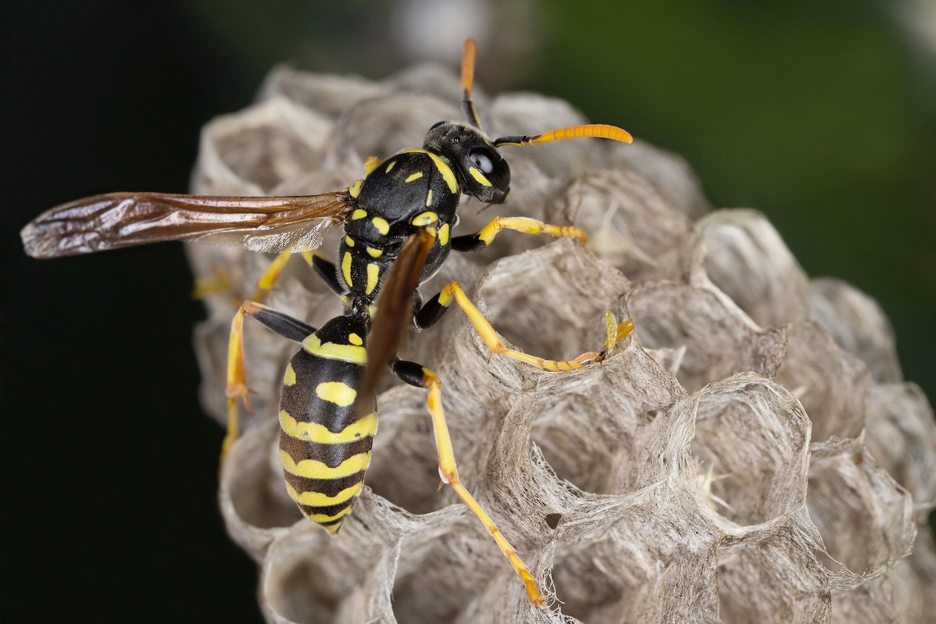 Wasps & Hornets | Pest Control | Guardian Pest Management